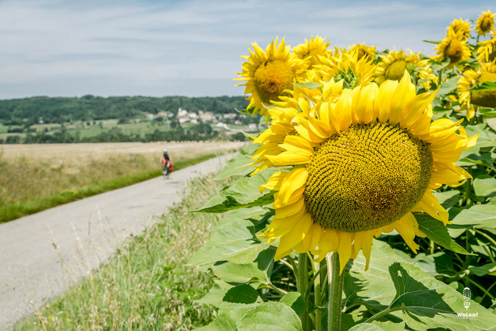 fietsen door de zonnebloemvelden